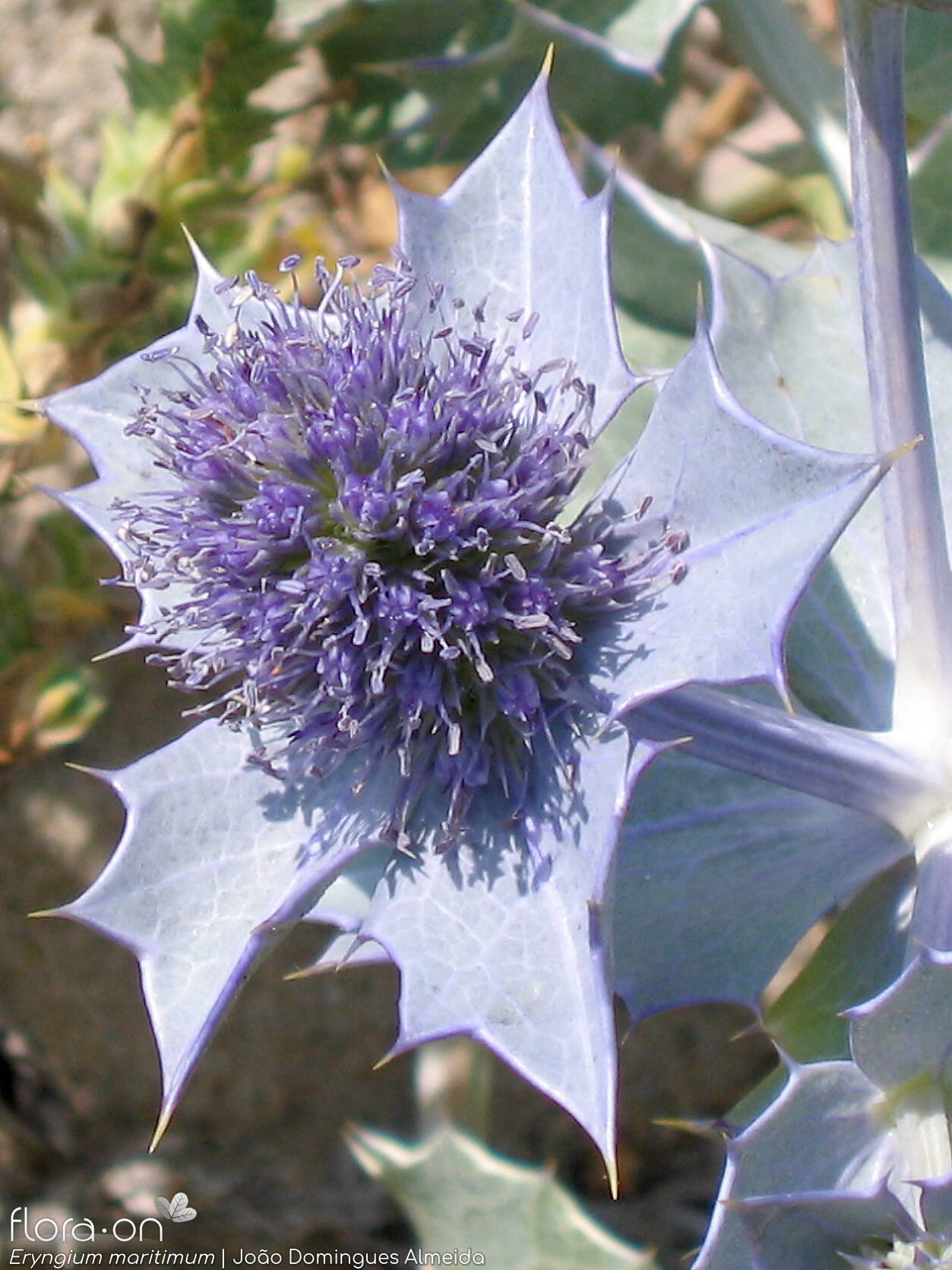 Eryngium maritimum - Flor (close-up) | João D. Almeida; CC BY-NC 4.0