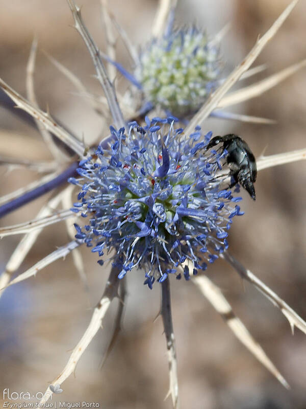 Eryngium tenue - Flor (close-up) | Miguel Porto; CC BY-NC 4.0