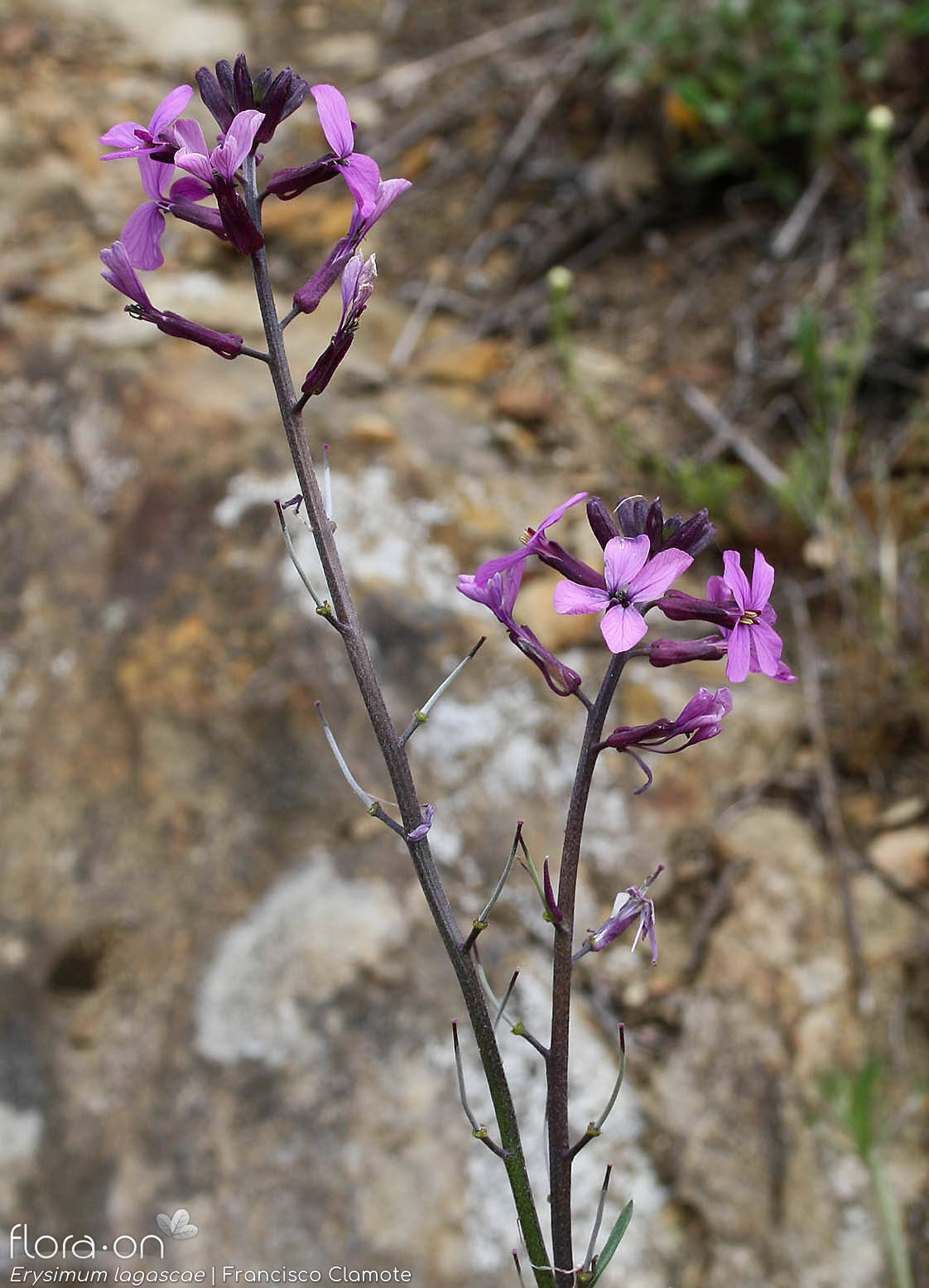 Erysimum lagascae - Flor (geral) | Francisco Clamote; CC BY-NC 4.0