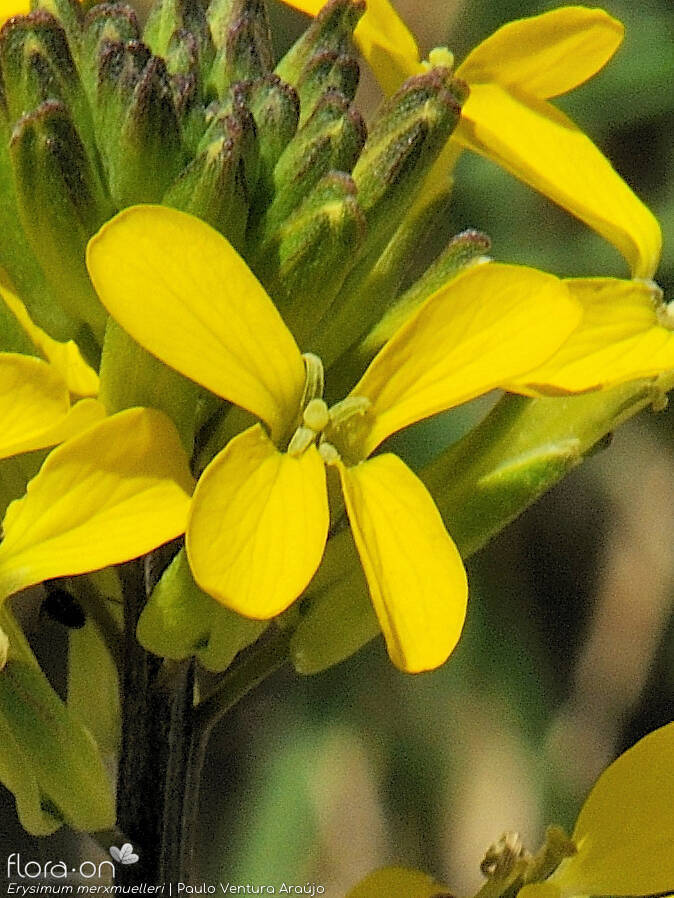 Erysimum merxmuelleri - Flor (close-up) | Paulo Ventura Araújo; CC BY-NC 4.0