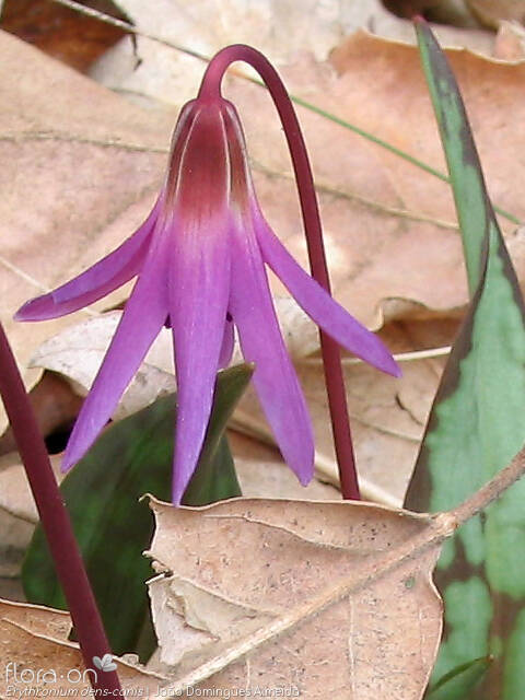 Erythronium dens-canis - Flor (close-up) | João D. Almeida; CC BY-NC 4.0