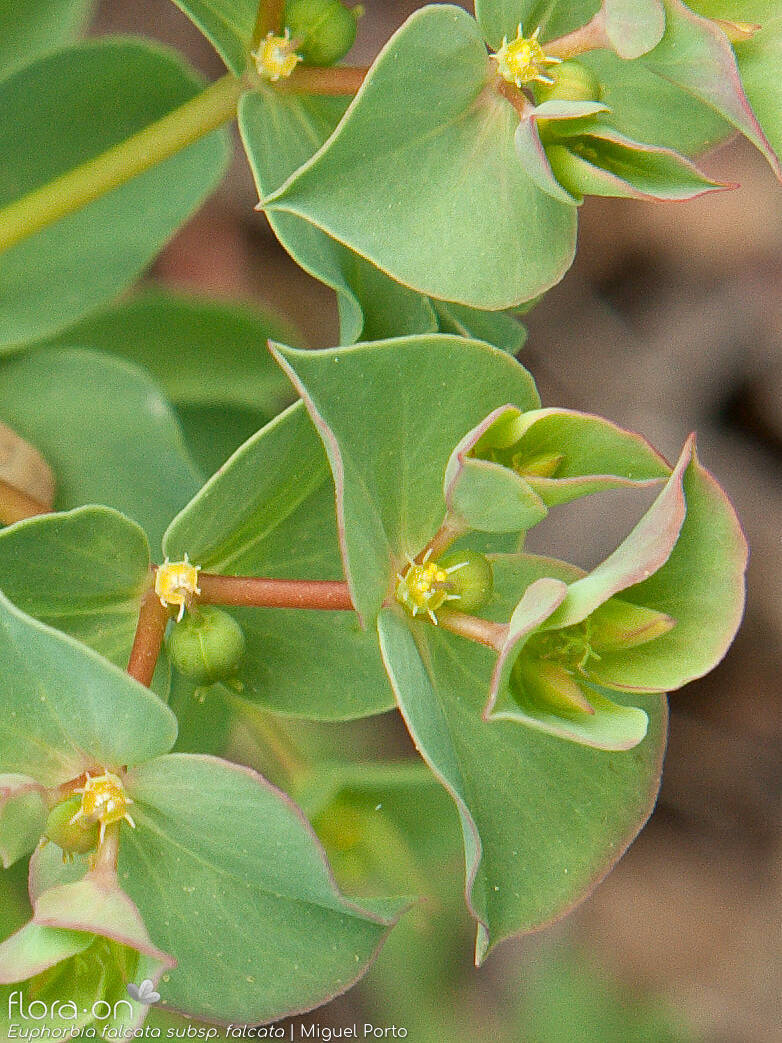 Euphorbia falcata falcata - Flor (close-up) | Miguel Porto; CC BY-NC 4.0