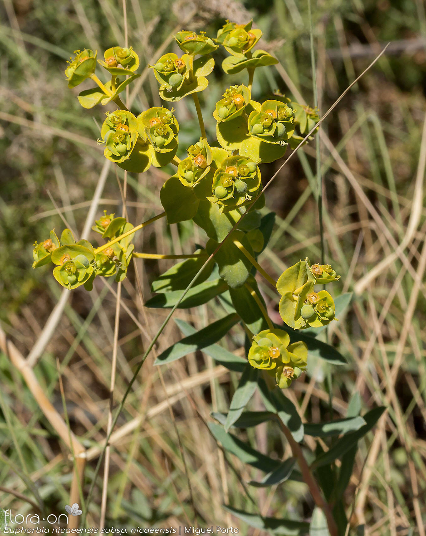 Euphorbia nicaeensis nicaeensis - Flor (geral) | Miguel Porto; CC BY-NC 4.0
