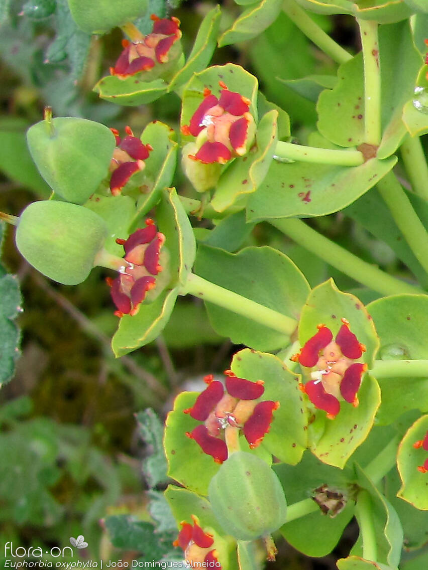 Euphorbia oxyphylla - Flor (close-up) | João D. Almeida; CC BY-NC 4.0