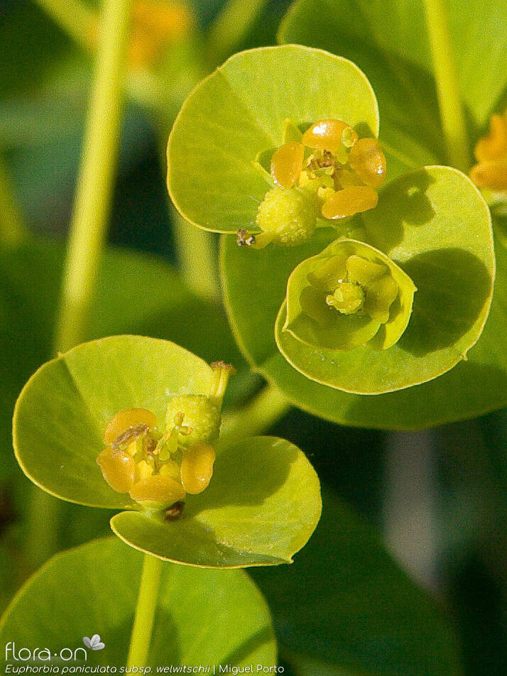 Euphorbia paniculata welwitschii - Flor (close-up) | Miguel Porto; CC BY-NC 4.0