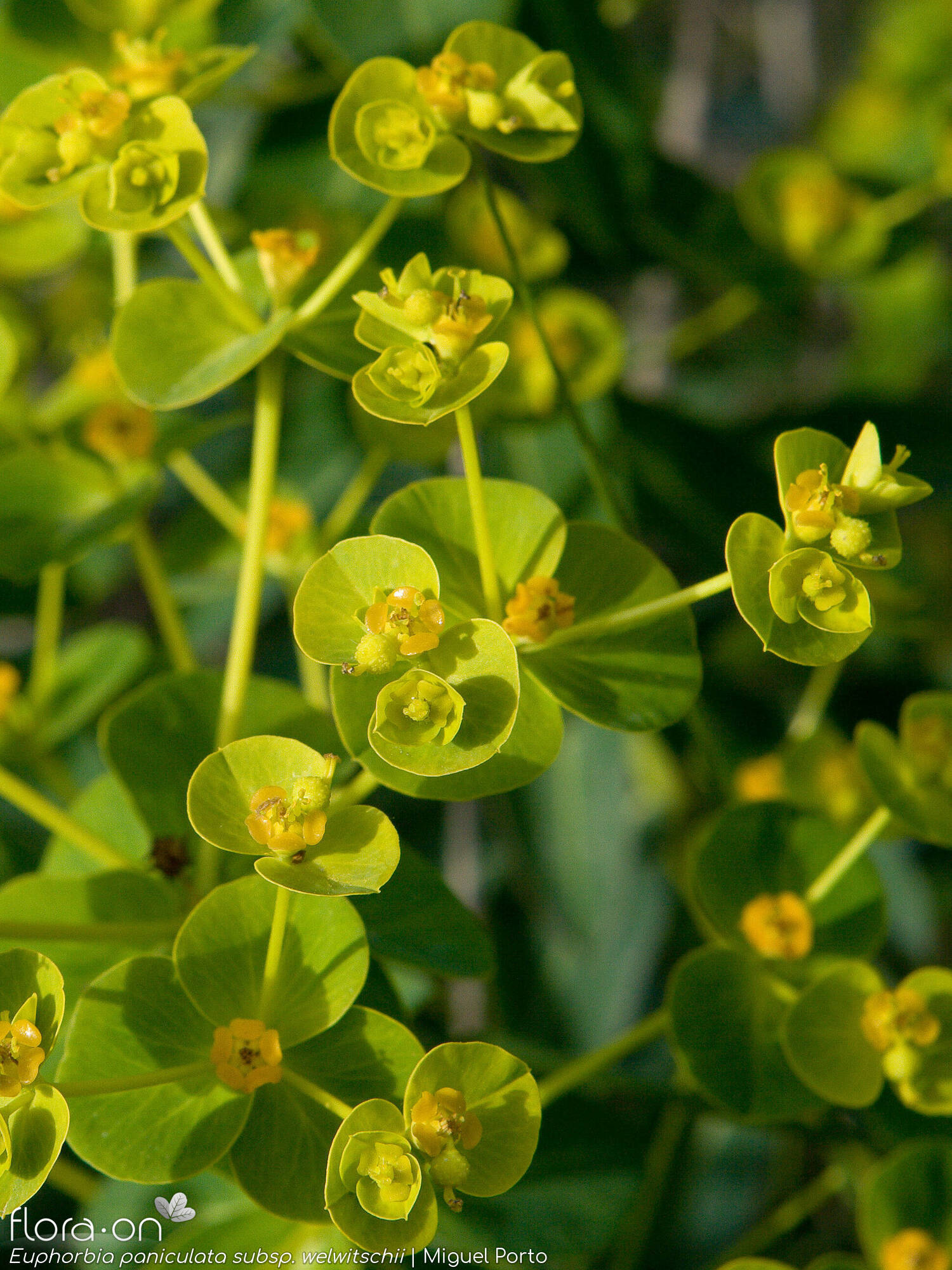 Euphorbia paniculata welwitschii - Flor (geral) | Miguel Porto; CC BY-NC 4.0