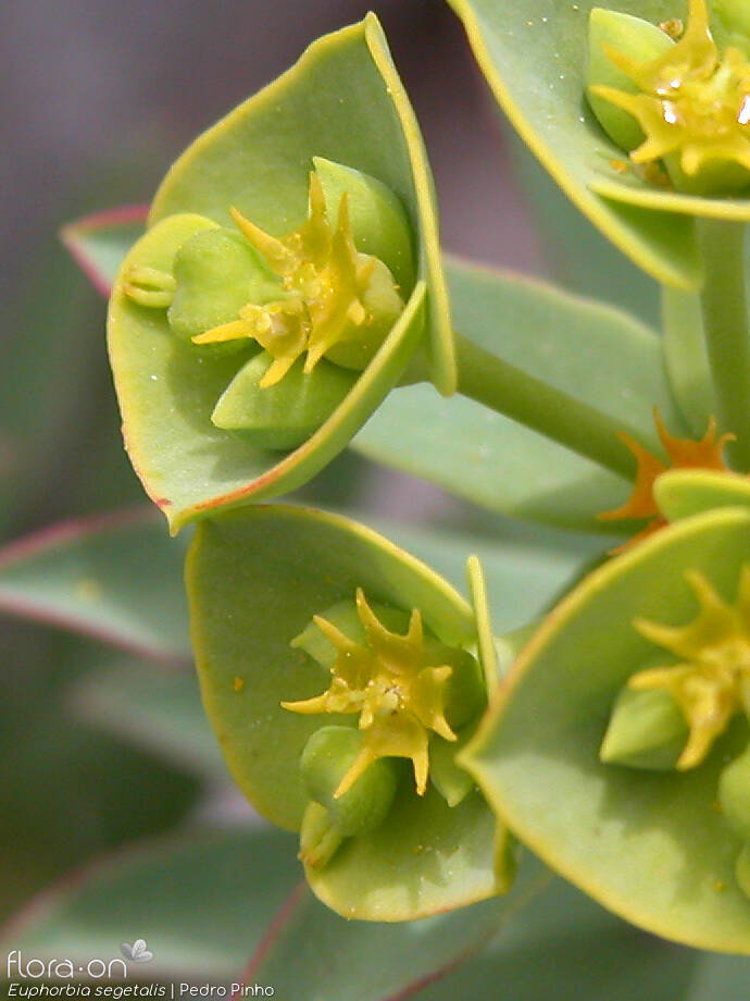 Euphorbia segetalis - Flor (close-up) | Pedro Pinho; CC BY-NC 4.0