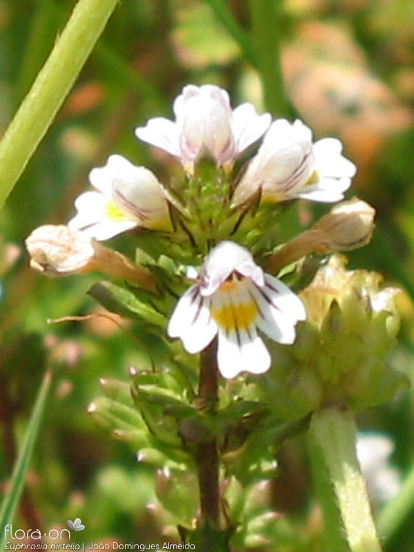 Euphrasia hirtella - Flor (close-up) | João D. Almeida; CC BY-NC 4.0
