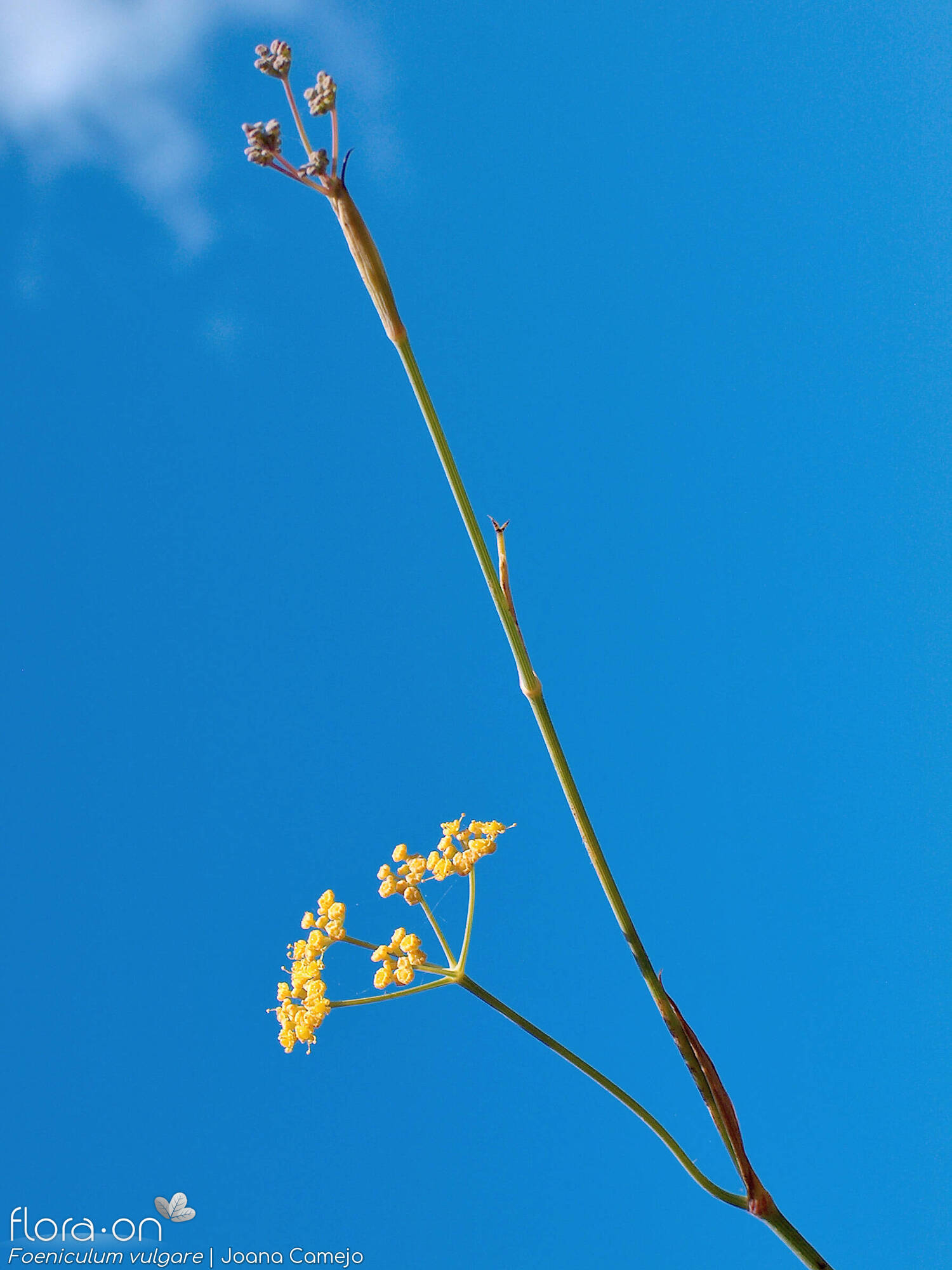 Foeniculum vulgare - Flor (geral) | Joana Camejo; CC BY-NC 4.0