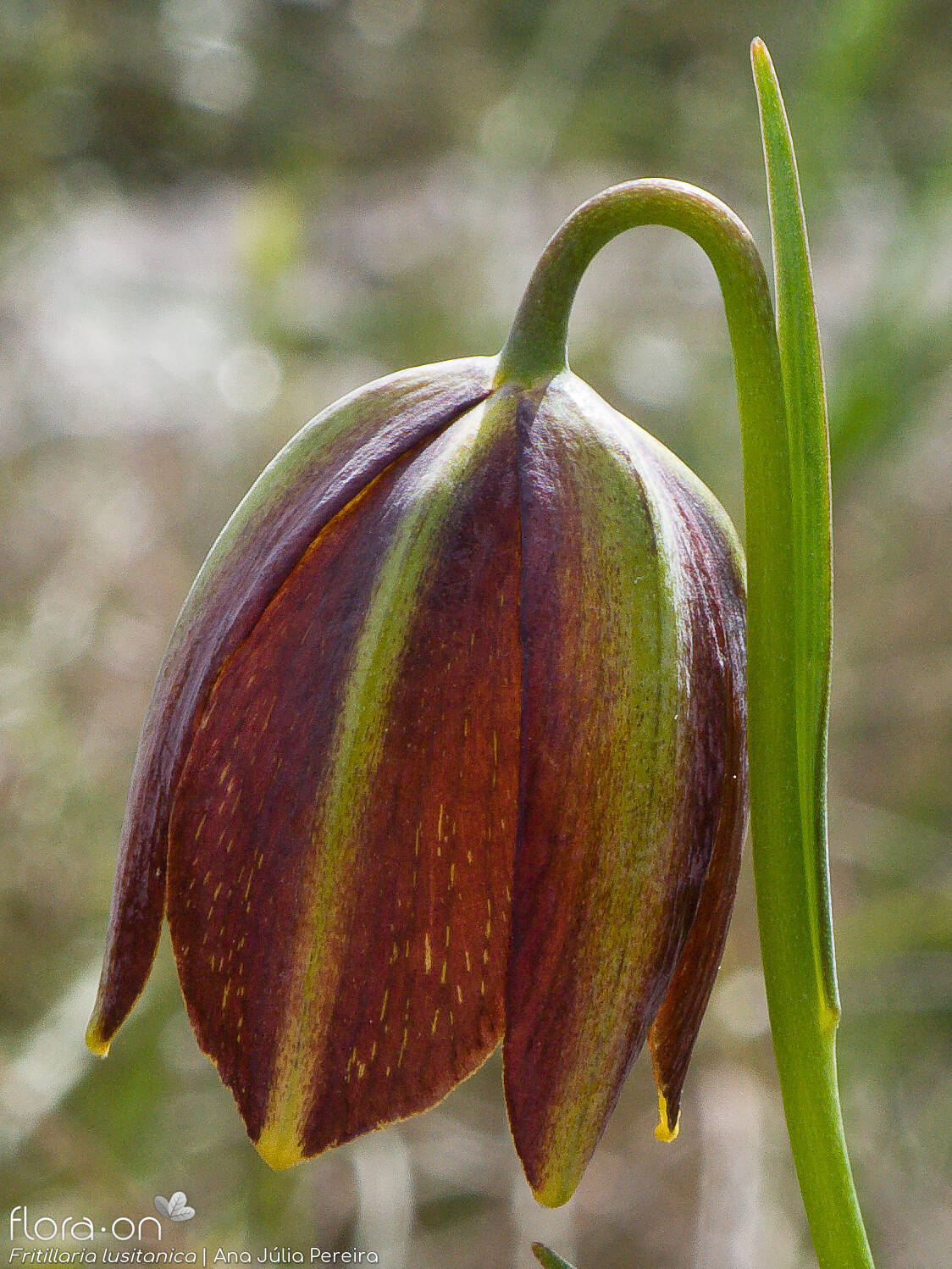 Fritillaria lusitanica - Flor (close-up) | Ana Júlia Pereira; CC BY-NC 4.0