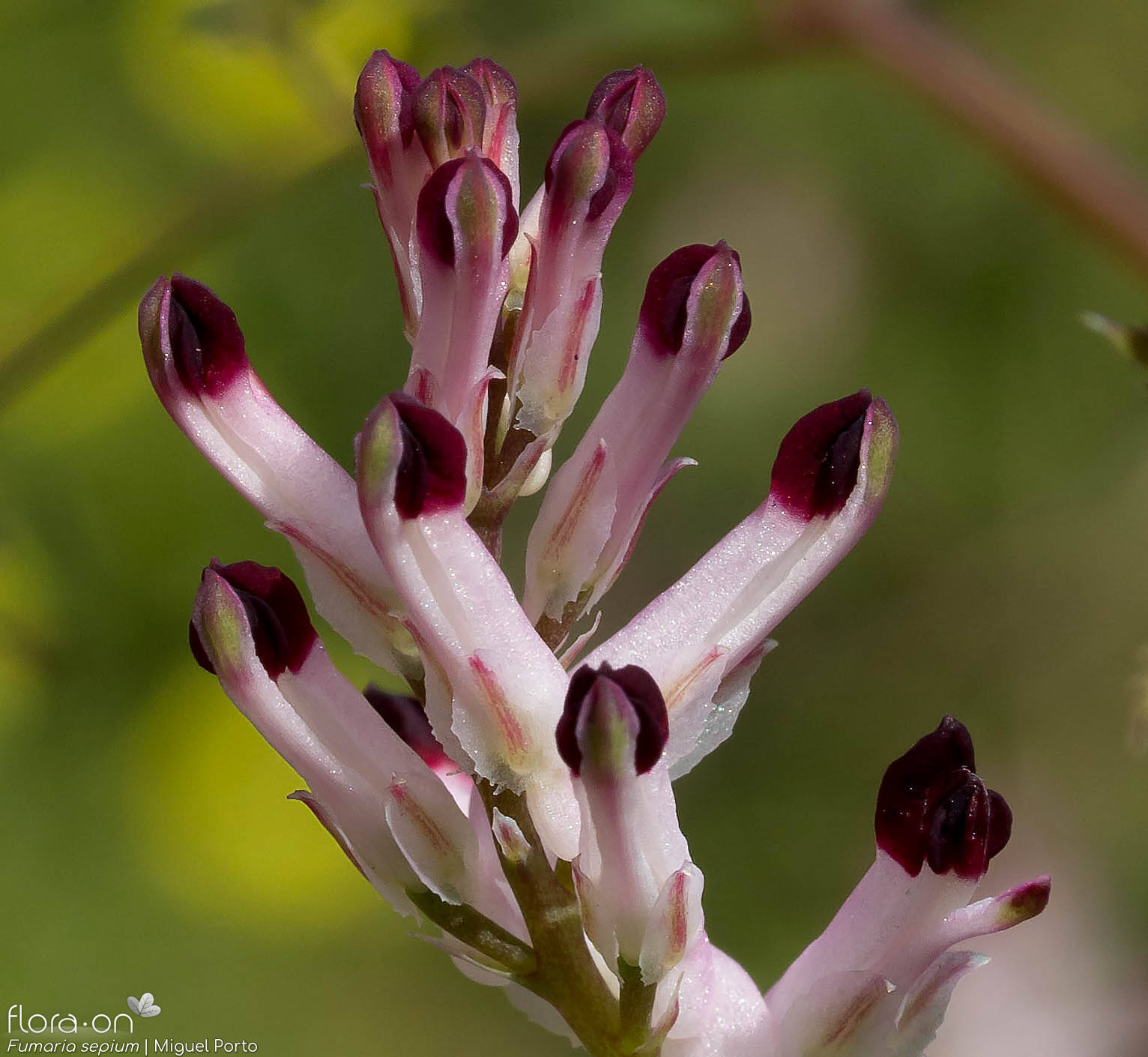 Fumaria sepium - Flor (close-up) | Miguel Porto; CC BY-NC 4.0
