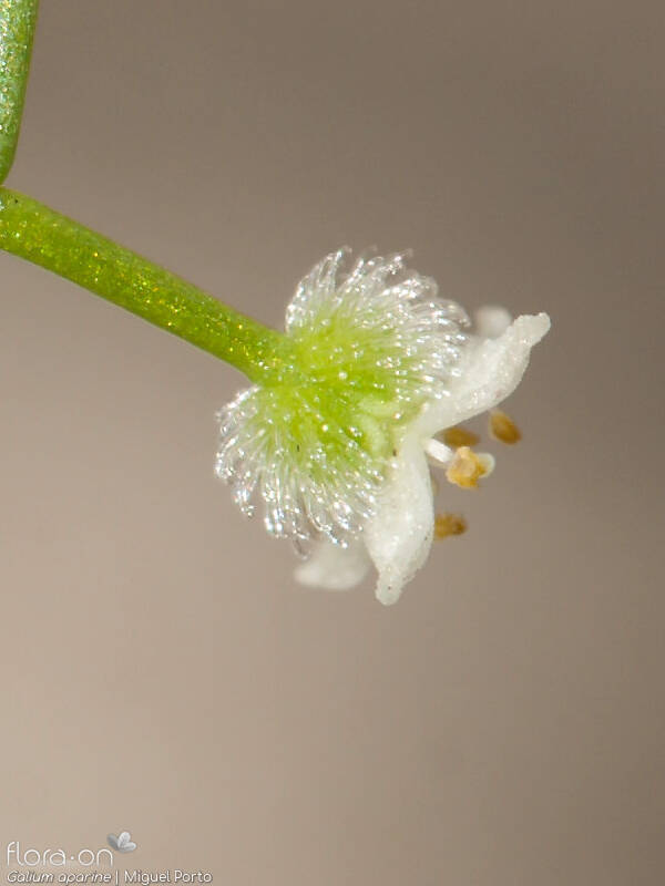 Galium aparine - Flor (close-up) | Miguel Porto; CC BY-NC 4.0