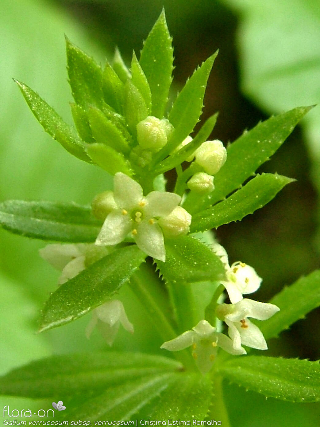 Galium verrucosum verrucosum - Flor (close-up) | Cristina Estima Ramalho; CC BY-NC 4.0