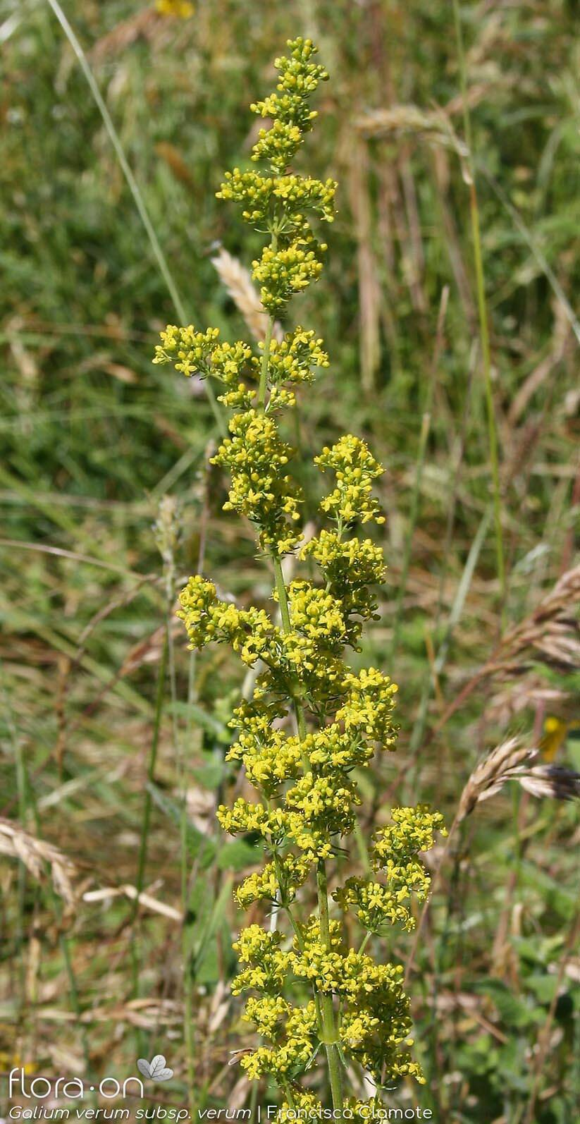 Galium verum verum - Flor (geral) | Francisco Clamote; CC BY-NC 4.0