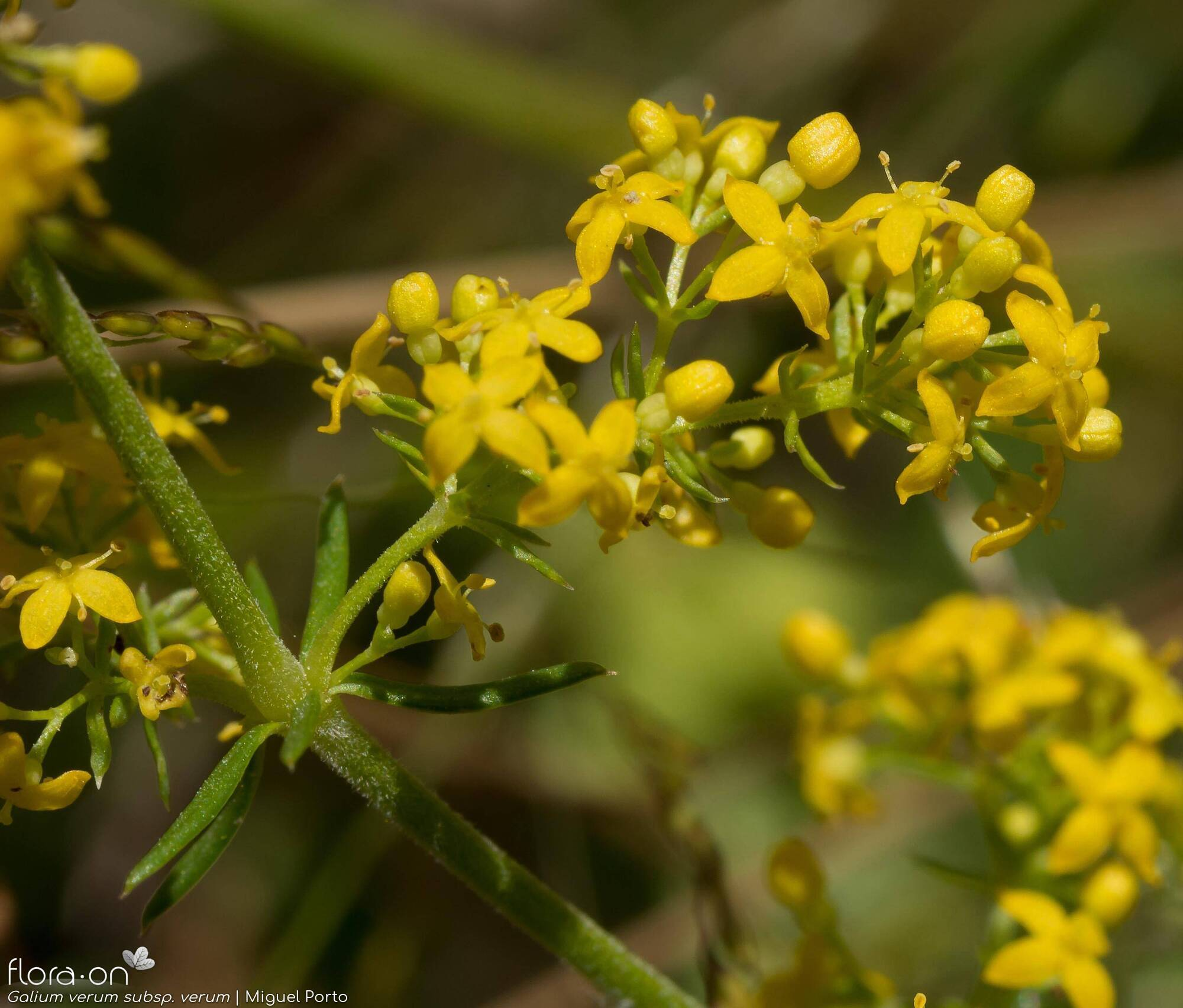 Galium verum verum - Flor (close-up) | Miguel Porto; CC BY-NC 4.0