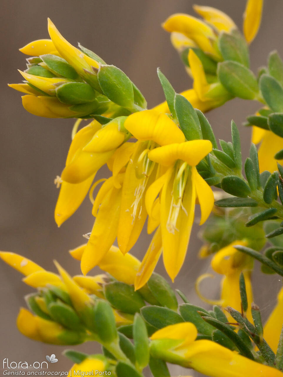 Genista ancistrocarpa - Flor (close-up) | Miguel Porto; CC BY-NC 4.0