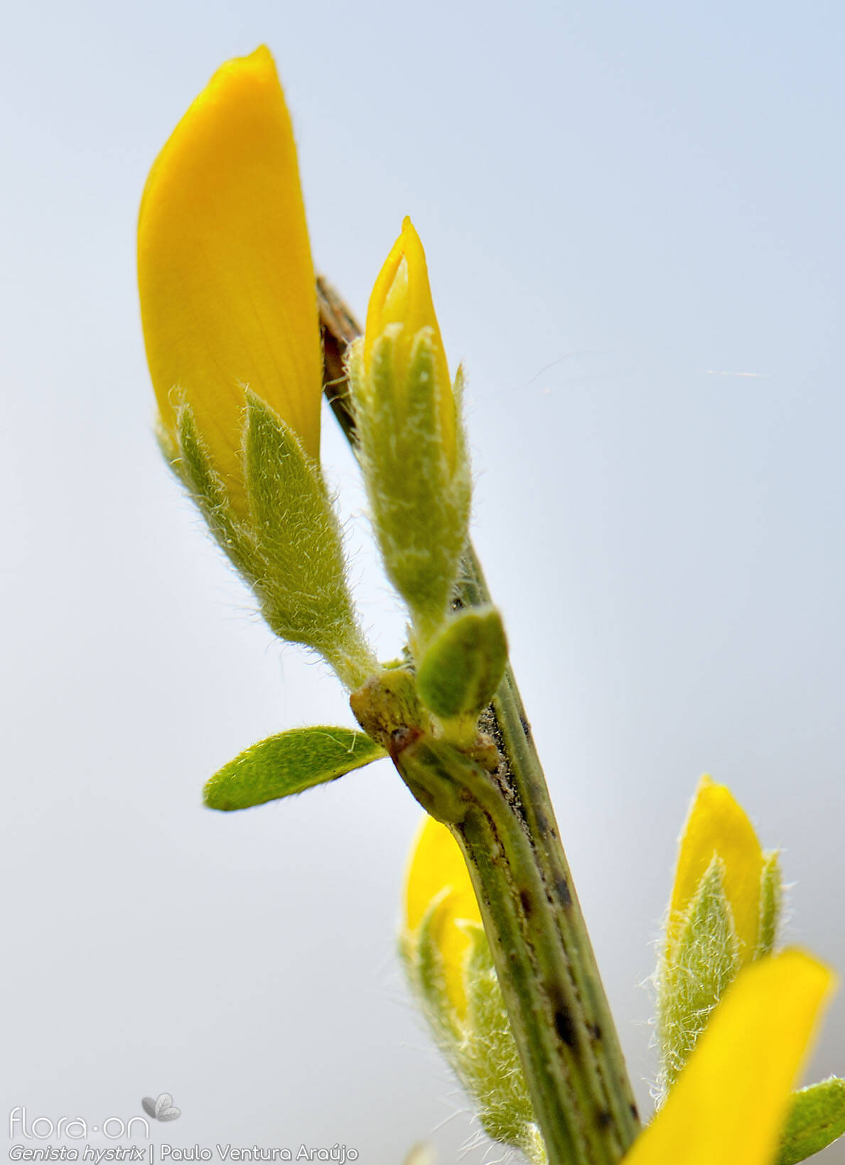 Genista hystrix - Flor (close-up) | Paulo Ventura Araújo; CC BY-NC 4.0