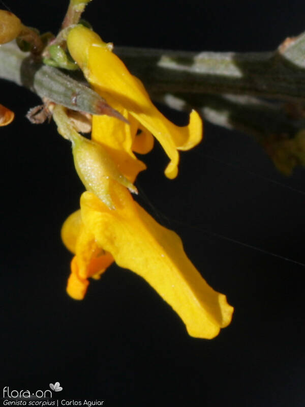 Genista scorpius - Flor (close-up) | Carlos Aguiar; CC BY-NC 4.0