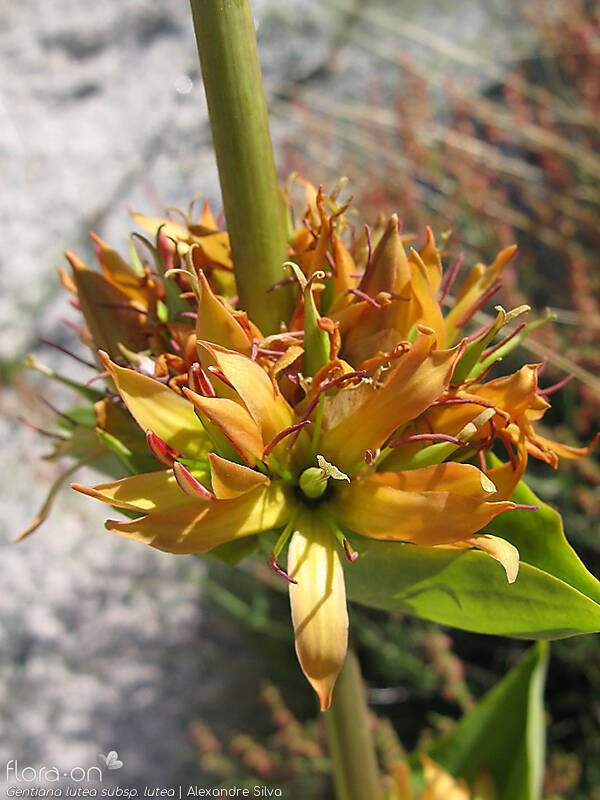 Gentiana lutea lutea - Flor (close-up) | Alexandre Silva; CC BY-NC 4.0