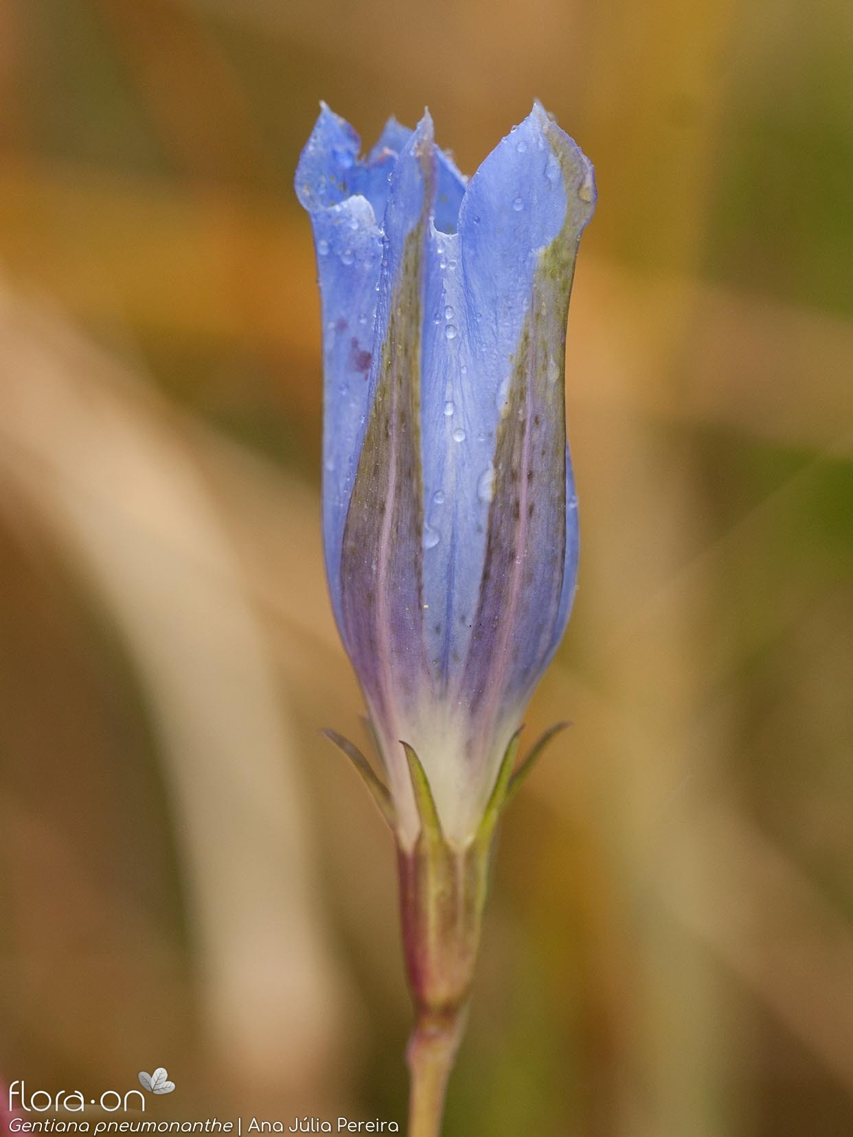Gentiana pneumonanthe - Flor (close-up) | Ana Júlia Pereira; CC BY-NC 4.0
