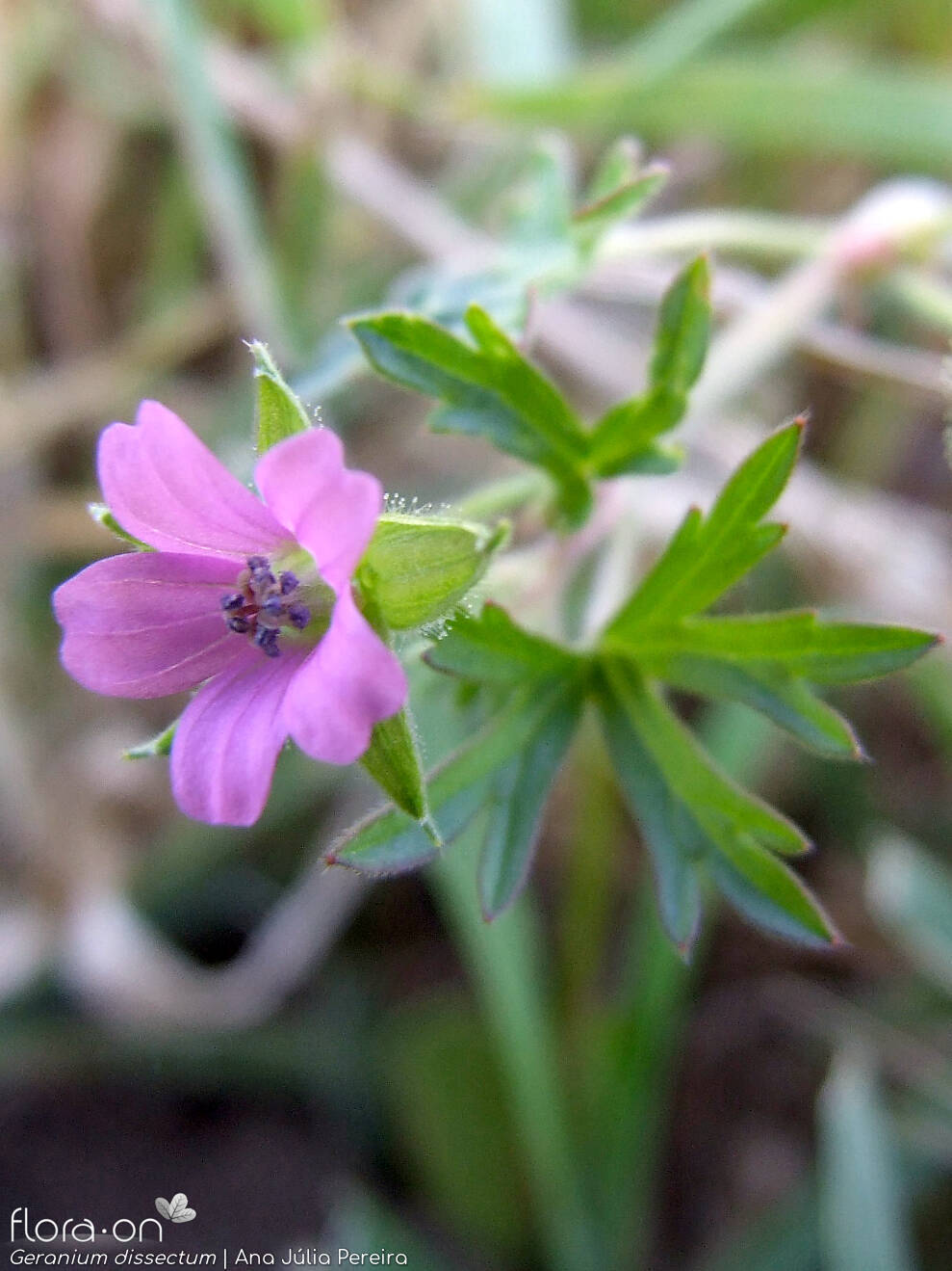 Geranium dissectum - Flor (close-up) | Ana Júlia Pereira; CC BY-NC 4.0