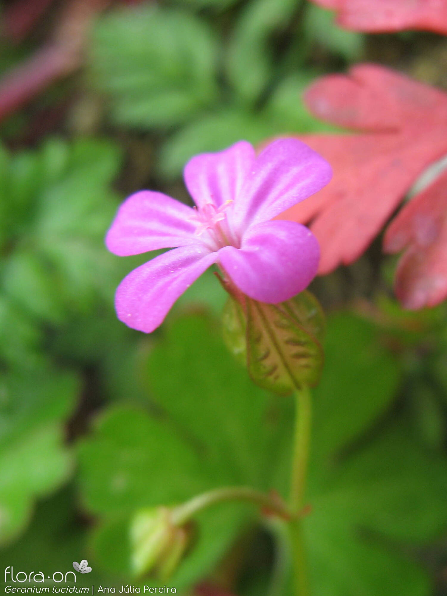 Geranium lucidum - Flor (close-up) | Ana Júlia Pereira; CC BY-NC 4.0