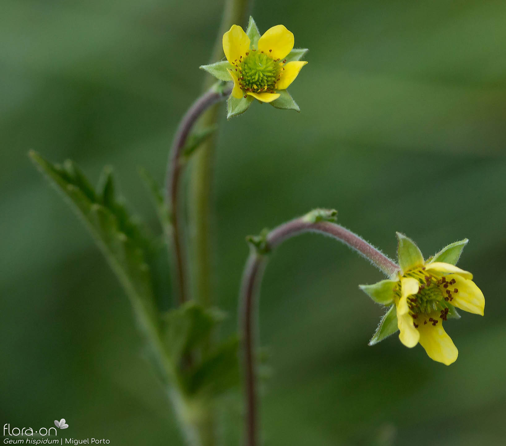 Geum hispidum - Flor (close-up) | Miguel Porto; CC BY-NC 4.0