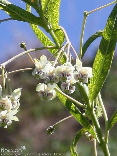 Gomphocarpus physocarpus - Flor (geral) | Francisco Clamote; CC BY-NC 4.0