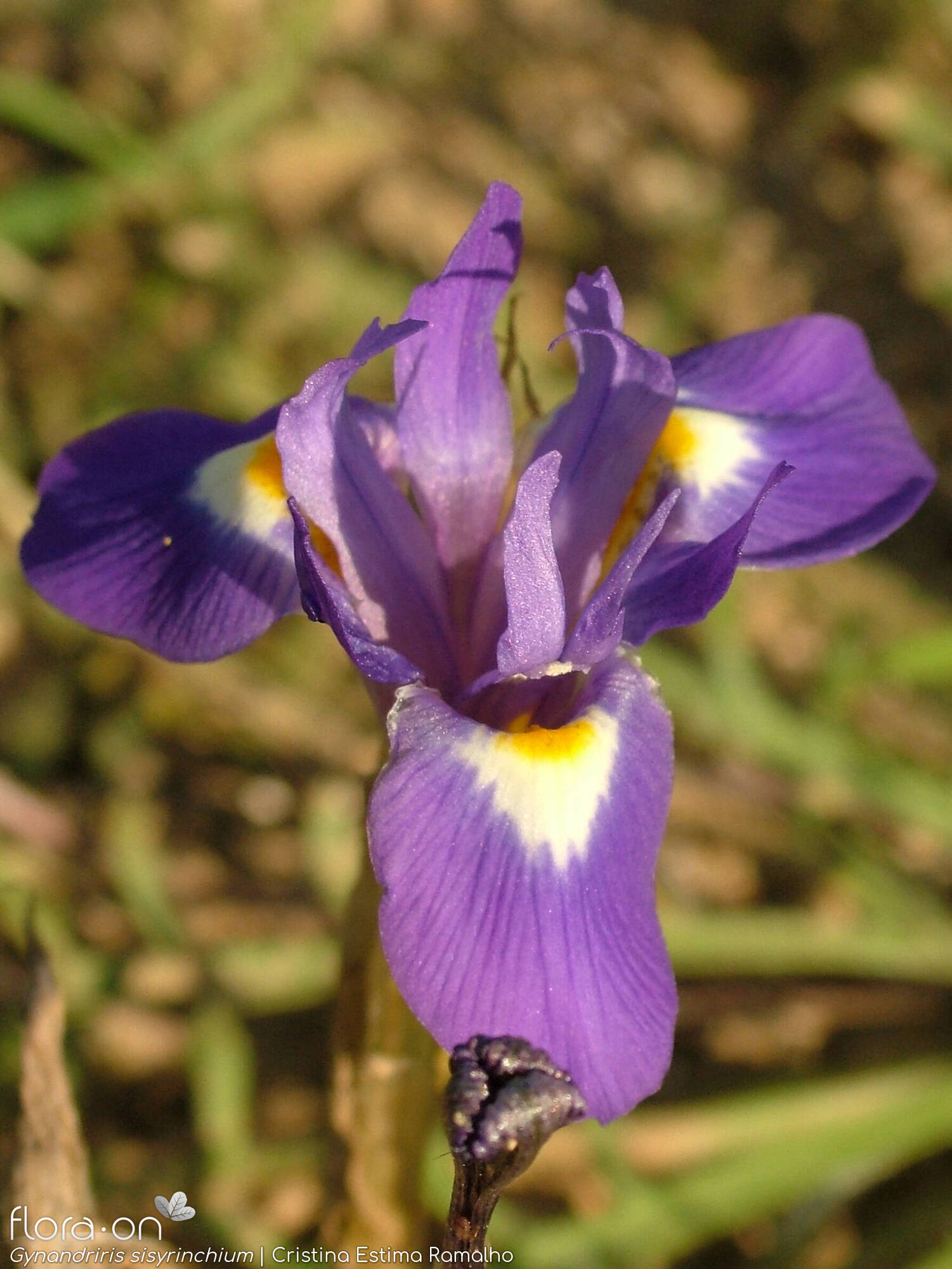 Gynandriris sisyrinchium - Flor (close-up) | Cristina Estima Ramalho; CC BY-NC 4.0