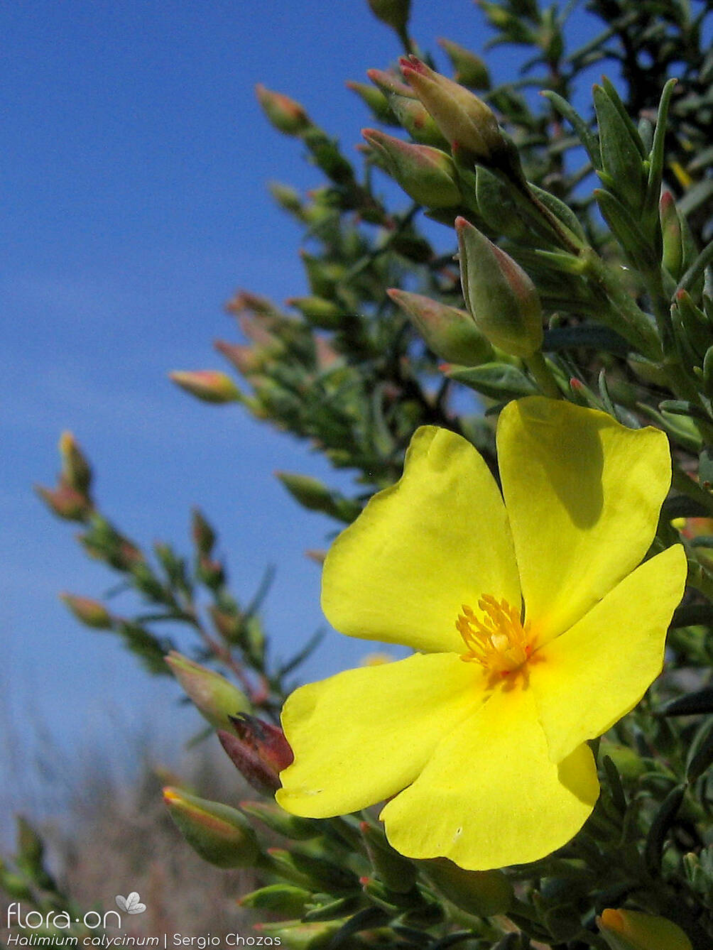 Halimium calycinum - Flor (close-up) | Sergio Chozas; CC BY-NC 4.0