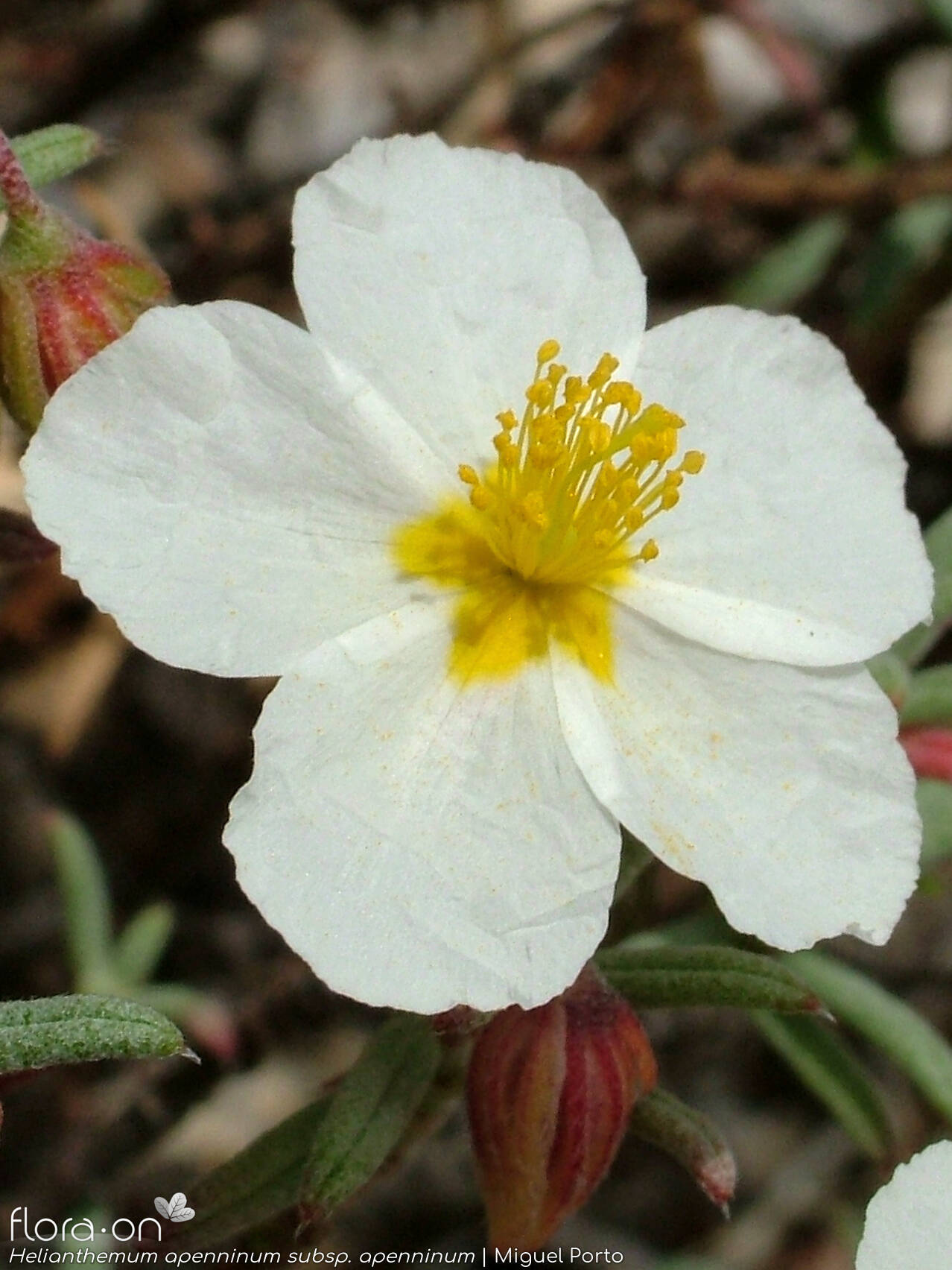 Helianthemum apenninum apenninum - Flor (close-up) | Miguel Porto; CC BY-NC 4.0