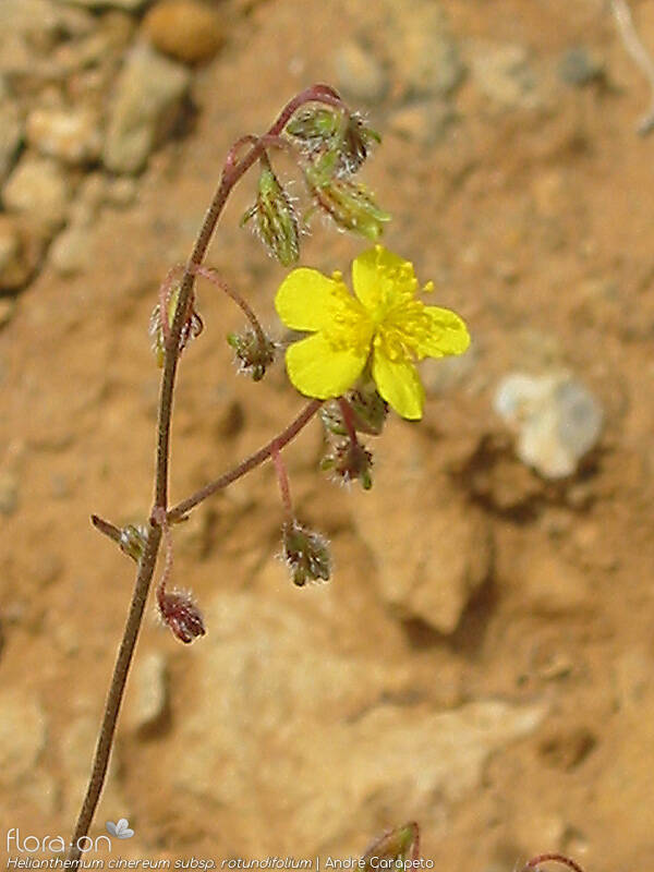 Helianthemum cinereum