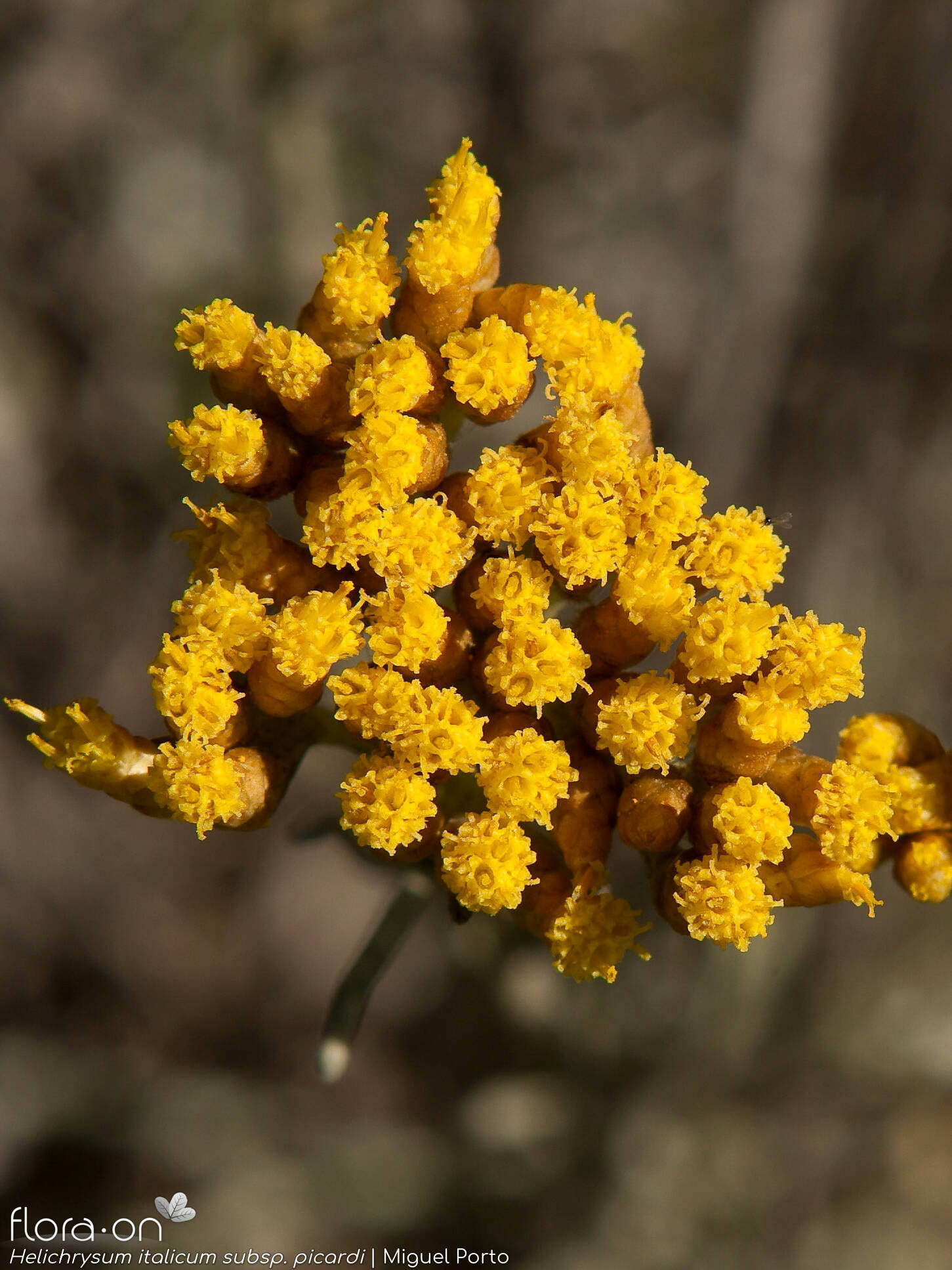 Helichrysum italicum picardi - Flor (geral) | Miguel Porto; CC BY-NC 4.0