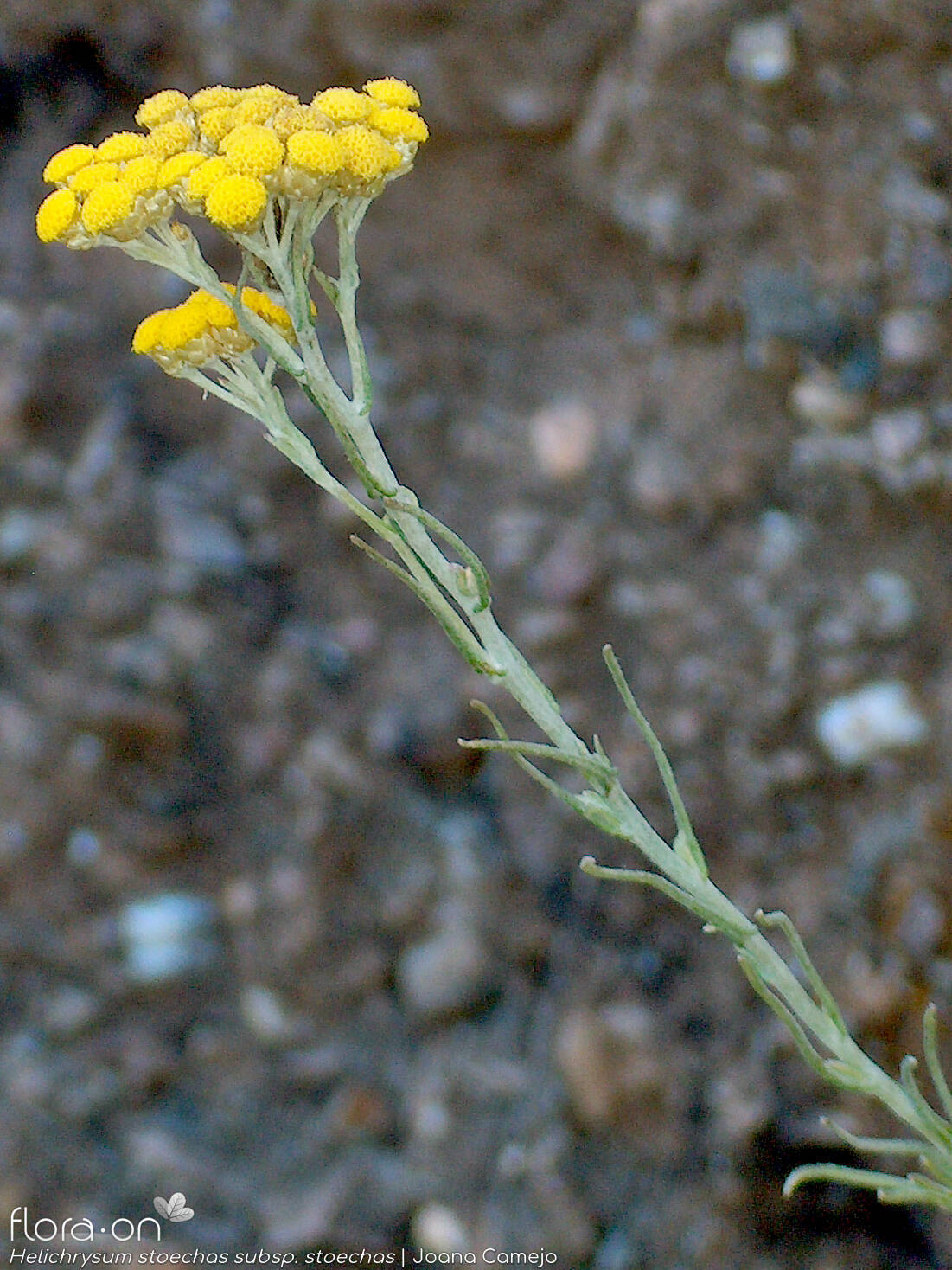 Helichrysum stoechas stoechas - Flor (geral) | Joana Camejo; CC BY-NC 4.0