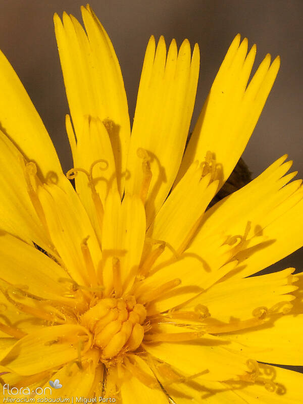 Hieracium sabaudum - Flor (close-up) | Miguel Porto; CC BY-NC 4.0