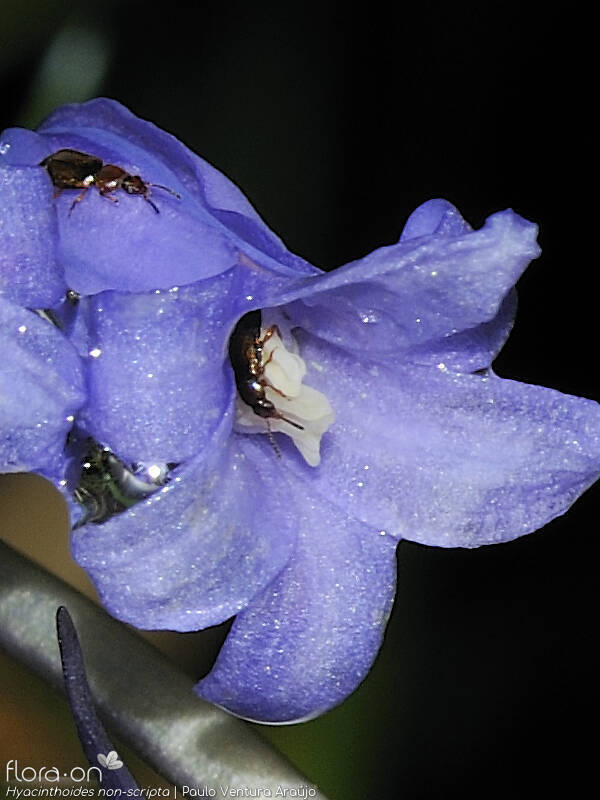 Hyacinthoides non-scripta - Flor (close-up) | Paulo Ventura Araújo; CC BY-NC 4.0