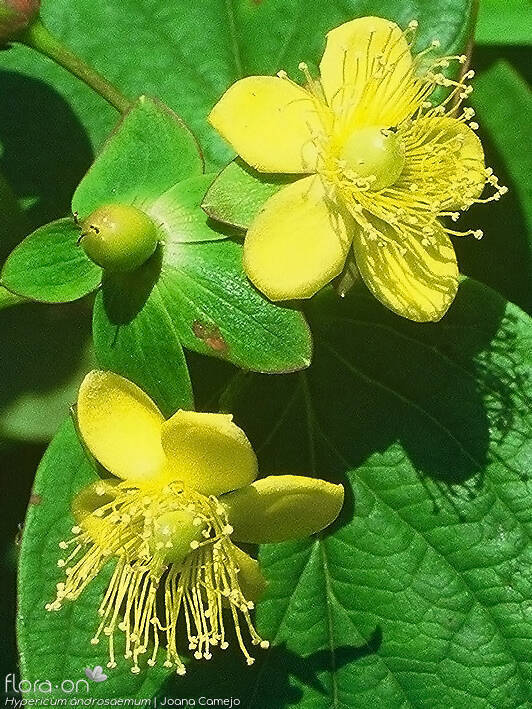 Hypericum androsaemum - Flor (close-up) | Joana Camejo; CC BY-NC 4.0