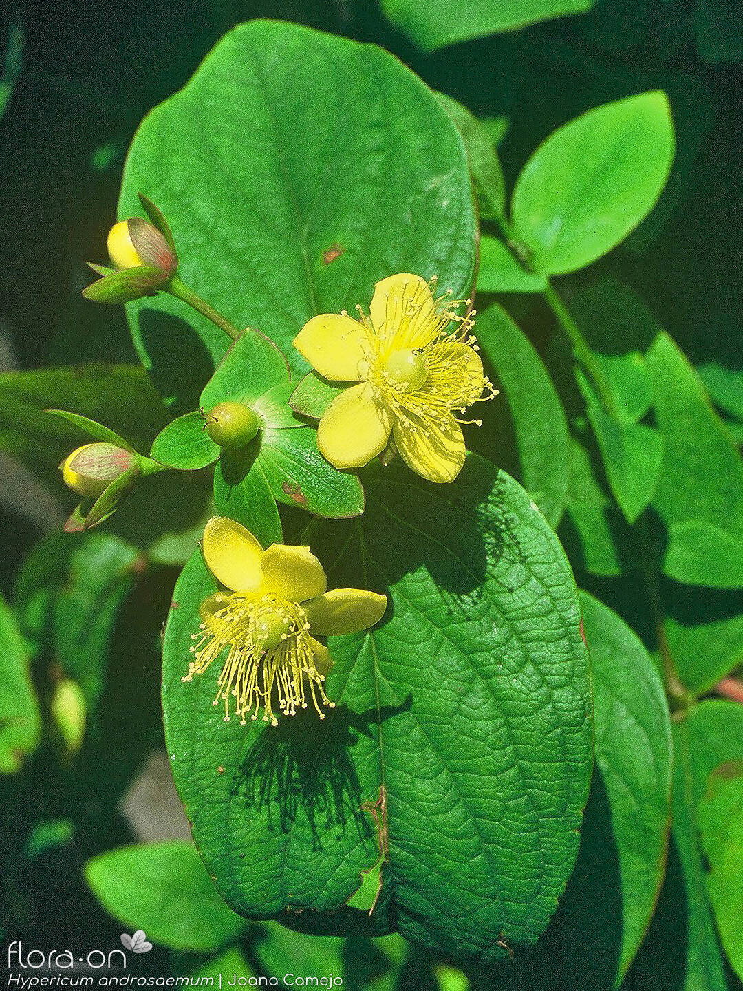 Hypericum androsaemum - Flor (geral) | Joana Camejo; CC BY-NC 4.0