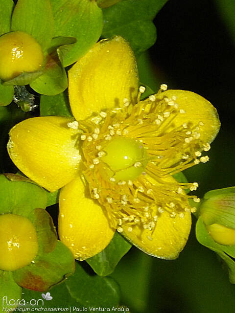 Hypericum androsaemum - Flor (close-up) | Paulo Ventura Araújo; CC BY-NC 4.0