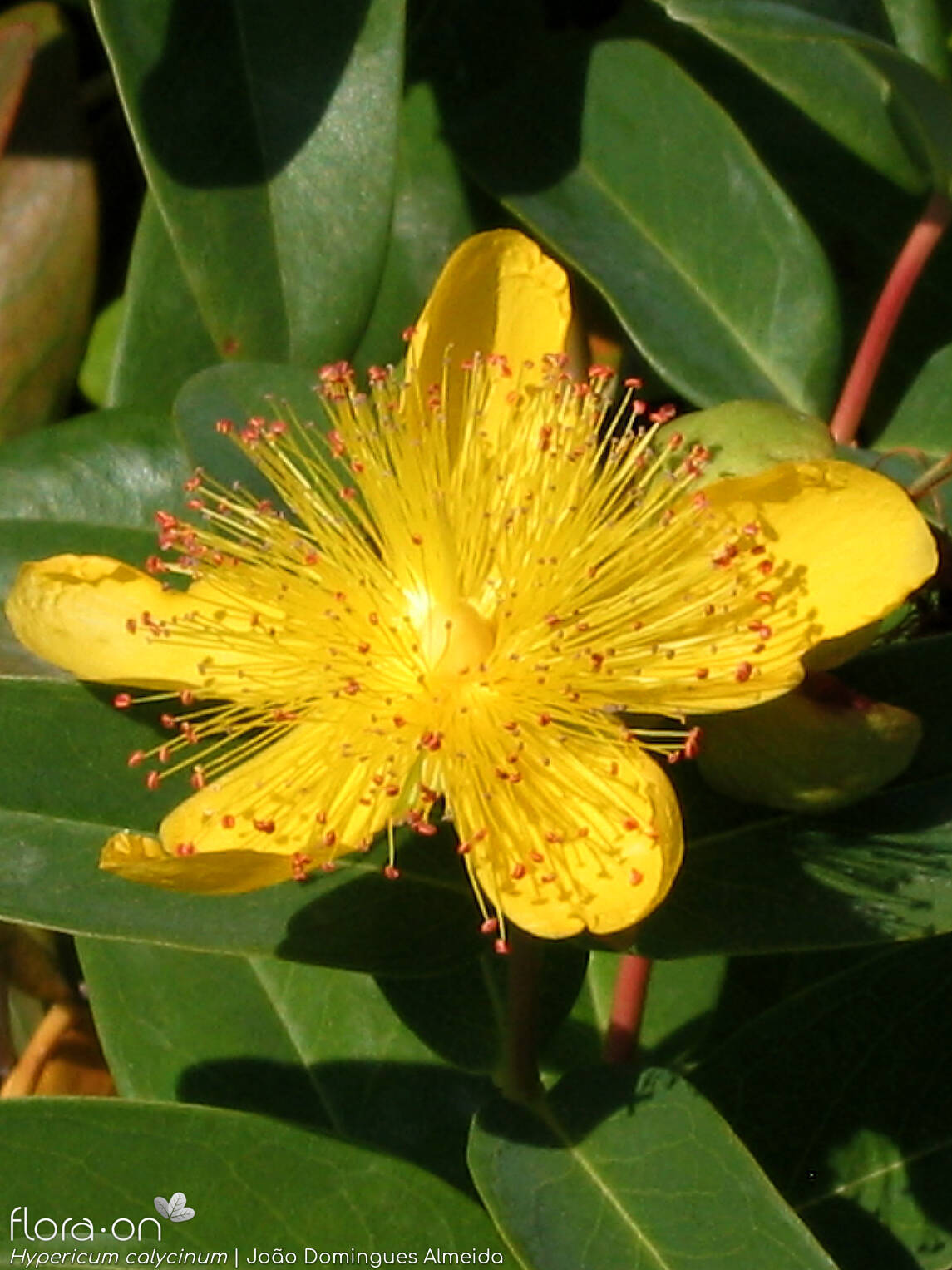 Hypericum calycinum - Flor (close-up) | João D. Almeida; CC BY-NC 4.0