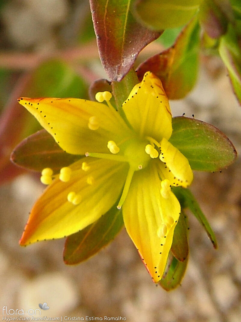 Hypericum humifusum - Flor (close-up) | Cristina Estima Ramalho; CC BY-NC 4.0