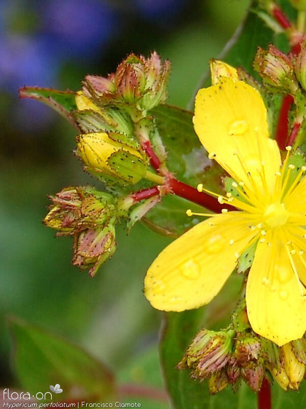 Hypericum perfoliatum - Cálice | Francisco Clamote; CC BY-NC 4.0