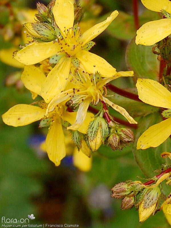 Hypericum perfoliatum - Flor (geral) | Francisco Clamote; CC BY-NC 4.0