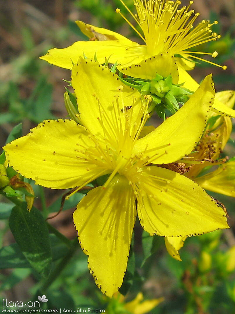 Hypericum perforatum - Flor (close-up) | Ana Júlia Pereira; CC BY-NC 4.0
