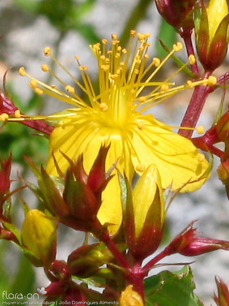 Hypericum undulatum - Flor (close-up) | João D. Almeida; CC BY-NC 4.0