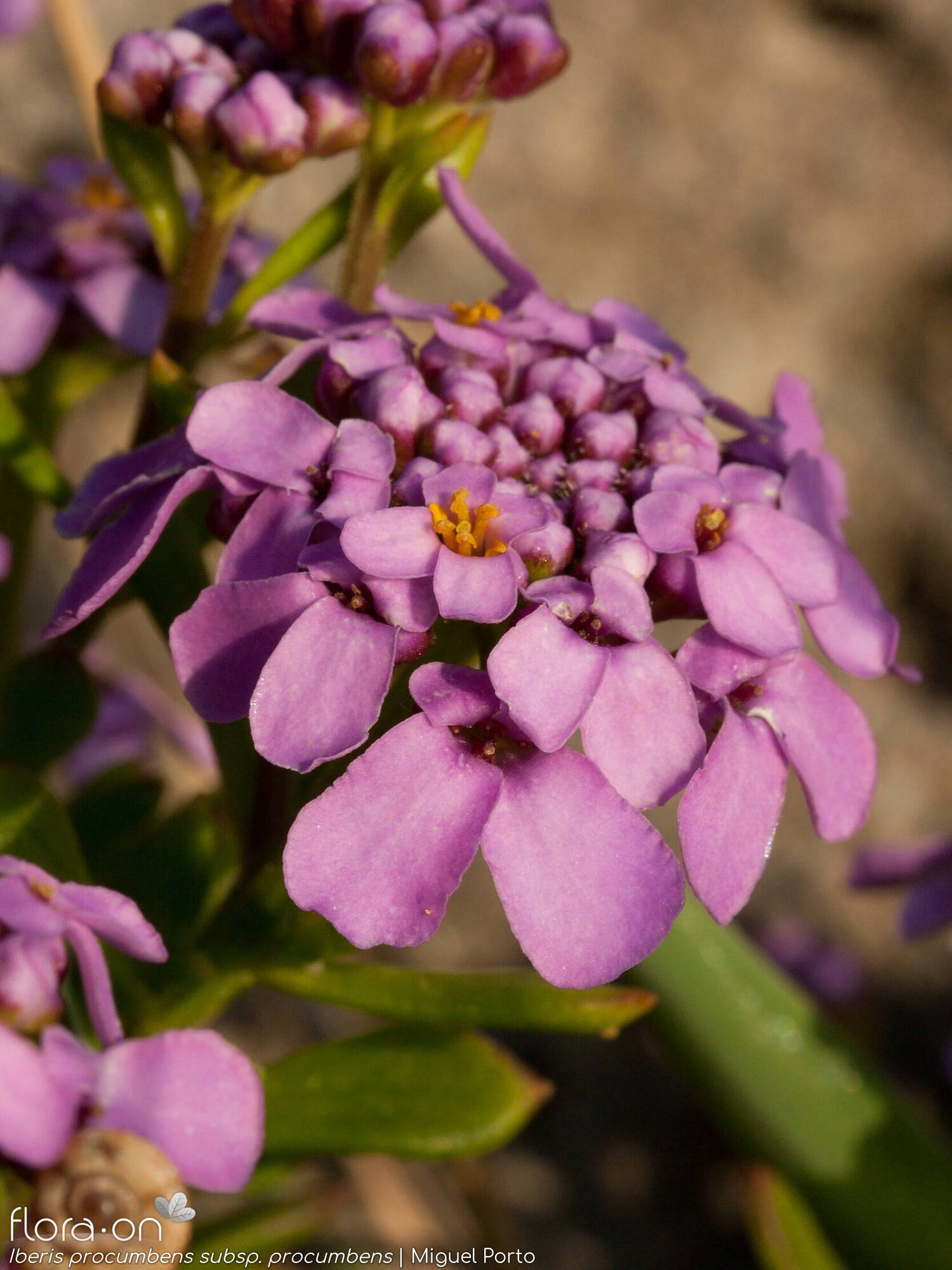 Iberis procumbens procumbens - Flor (close-up) | Miguel Porto; CC BY-NC 4.0
