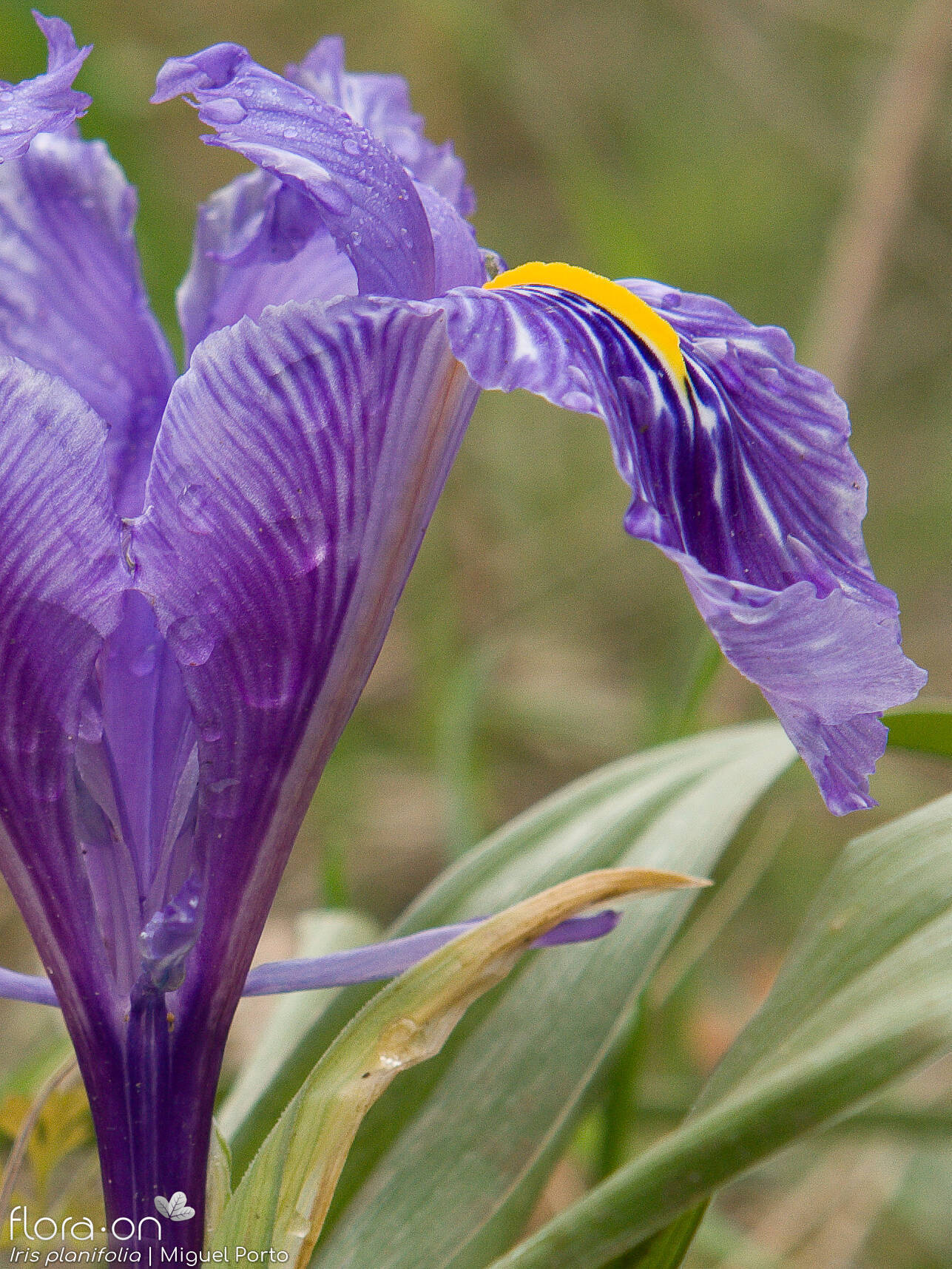 Iris planifolia - Flor (close-up) | Miguel Porto; CC BY-NC 4.0