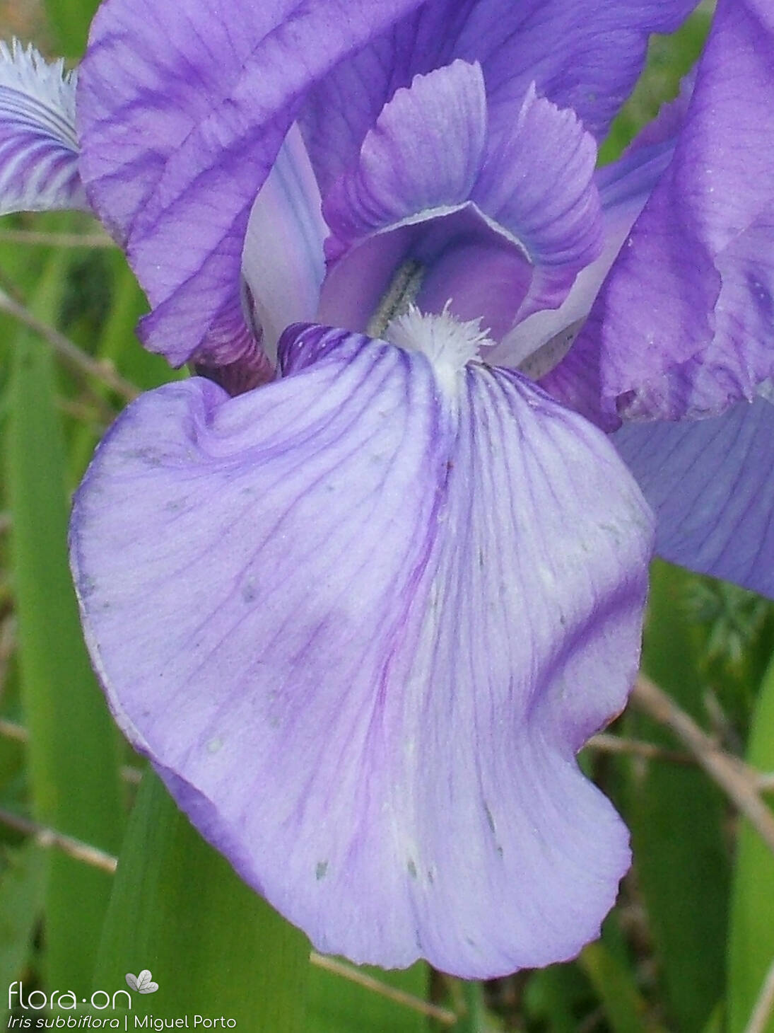 Iris subbiflora - Flor (close-up) | Miguel Porto; CC BY-NC 4.0