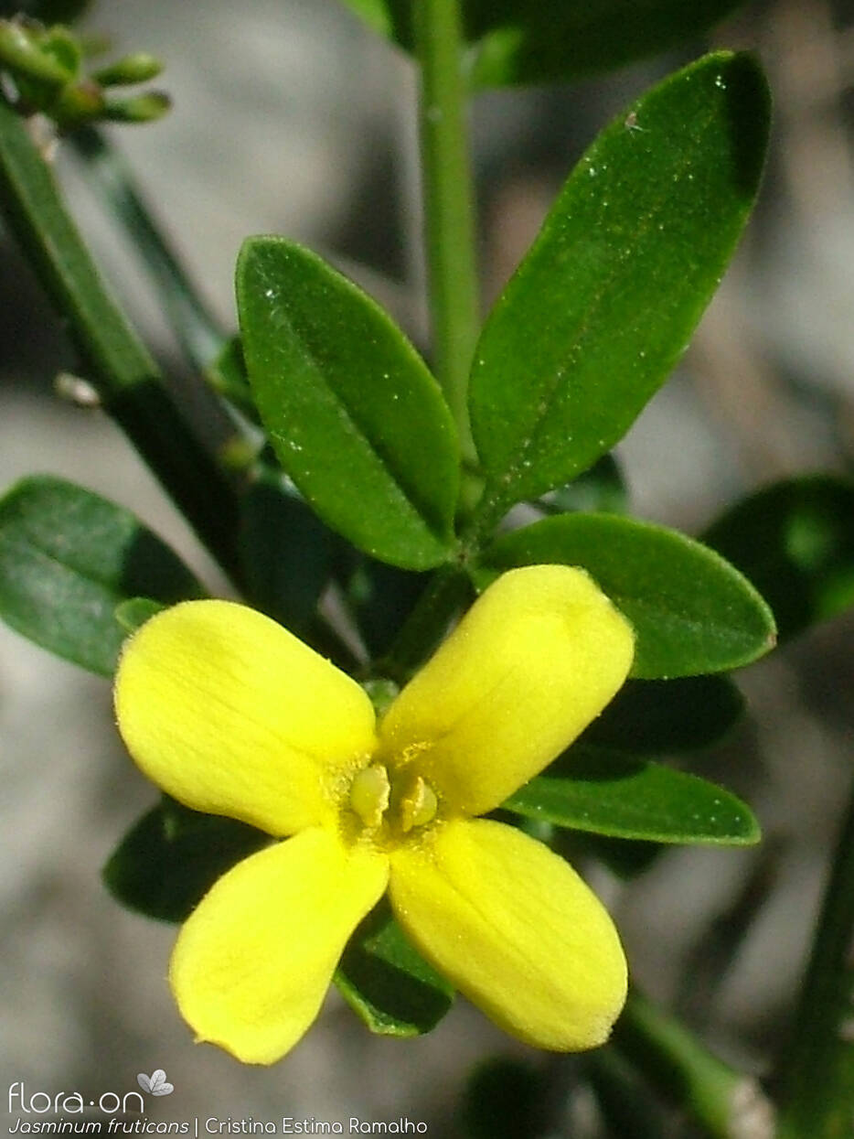 Jasminum fruticans - Flor (close-up) | Cristina Estima Ramalho; CC BY-NC 4.0