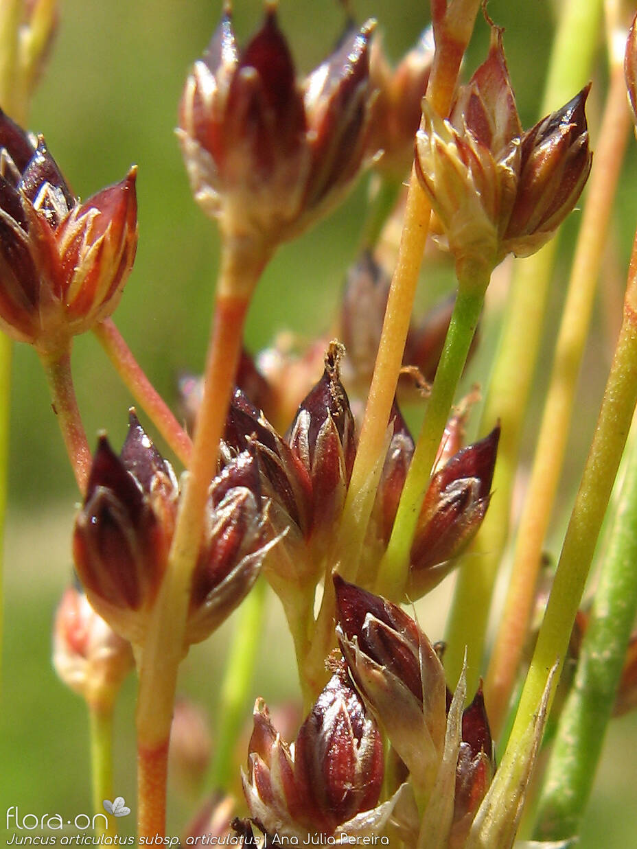 Juncus articulatus articulatus - Flor (close-up) | Ana Júlia Pereira; CC BY-NC 4.0